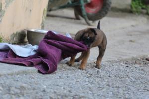 Malinois-Puppies-Monaco-BTWW-H-080319-0039