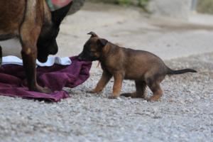 Malinois-Puppies-Monaco-BTWW-H-080319-0040