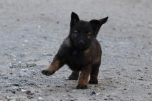 Malinois-Puppies-Monaco-BTWW-H-080319-0041
