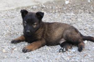 Malinois-Puppies-Monaco-BTWW-H-080319-0043