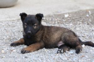Malinois-Puppies-Monaco-BTWW-H-080319-0044