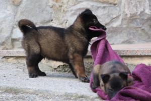 Malinois-Puppies-Monaco-BTWW-H-080319-0046