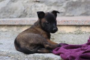 Malinois-Puppies-Monaco-BTWW-H-080319-0047