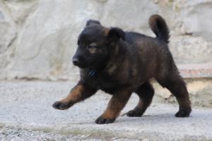 Malinois-Puppies-Monaco-BTWW-H-080319-0048