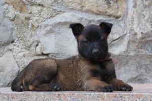 Malinois-Puppies-Monaco-BTWW-H-080319-0053