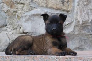 Malinois-Puppies-Monaco-BTWW-H-080319-0054