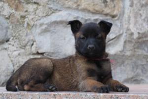 Malinois-Puppies-Monaco-BTWW-H-080319-0055