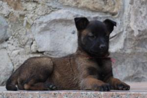 Malinois-Puppies-Monaco-BTWW-H-080319-0056