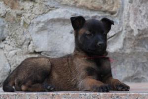 Malinois-Puppies-Monaco-BTWW-H-080319-0057