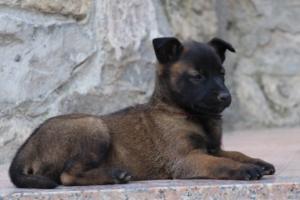 Malinois-Puppies-Monaco-BTWW-H-080319-0058