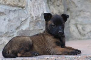Malinois-Puppies-Monaco-BTWW-H-080319-0059