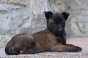Malinois-Puppies-Monaco-BTWW-H-080319-0060