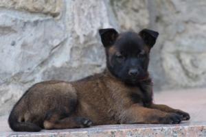 Malinois-Puppies-Monaco-BTWW-H-080319-0061
