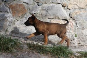 Belgian-Malinois-Puppies-BTWW-H-Litter-180319-0001