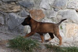Belgian-Malinois-Puppies-BTWW-H-Litter-180319-0002