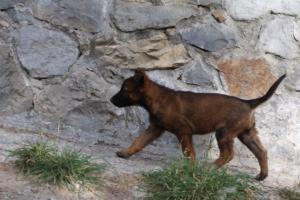 Belgian-Malinois-Puppies-BTWW-H-Litter-180319-0003