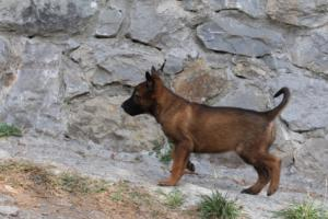 Belgian-Malinois-Puppies-BTWW-H-Litter-180319-0004