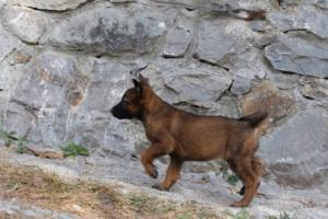 Belgian-Malinois-Puppies-BTWW-H-Litter-180319-0005