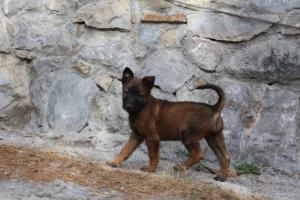 Belgian-Malinois-Puppies-BTWW-H-Litter-180319-0006
