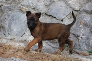 Belgian-Malinois-Puppies-BTWW-H-Litter-180319-0007