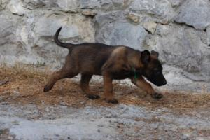 Belgian-Malinois-Puppies-BTWW-H-Litter-180319-0008