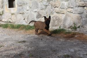 Belgian-Malinois-Puppies-BTWW-H-Litter-180319-0009