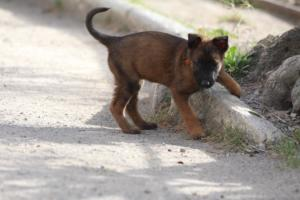 Belgian-Malinois-Puppies-BTWW-H-Litter-180319-0010