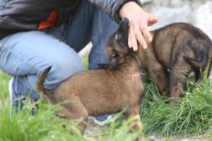 Belgian-Malinois-Puppies-BTWW-H-Litter-180319-0012