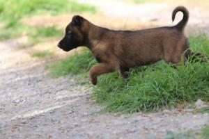 Belgian-Malinois-Puppies-BTWW-H-Litter-180319-0015
