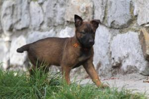 Belgian-Malinois-Puppies-BTWW-H-Litter-180319-0018