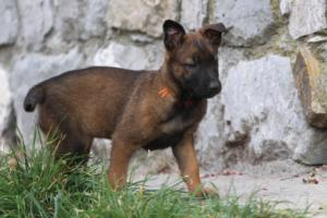 Belgian-Malinois-Puppies-BTWW-H-Litter-180319-0019