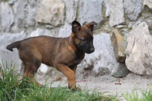 Belgian-Malinois-Puppies-BTWW-H-Litter-180319-0020