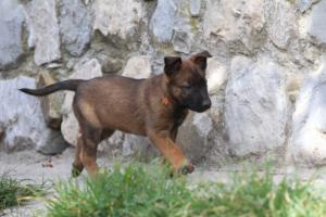 Belgian-Malinois-Puppies-BTWW-H-Litter-180319-0021