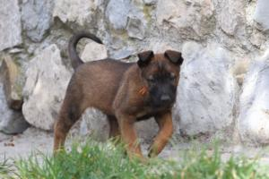 Belgian-Malinois-Puppies-BTWW-H-Litter-180319-0022