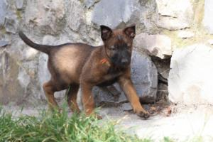 Belgian-Malinois-Puppies-BTWW-H-Litter-180319-0023