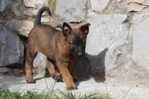 Belgian-Malinois-Puppies-BTWW-H-Litter-180319-0025