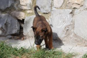 Belgian-Malinois-Puppies-BTWW-H-Litter-180319-0026