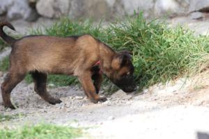 Belgian-Malinois-Puppies-BTWW-H-Litter-180319-0027