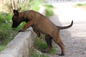 Belgian-Malinois-Puppies-BTWW-H-Litter-180319-0029