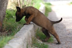 Belgian-Malinois-Puppies-BTWW-H-Litter-180319-0030