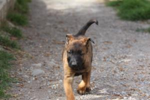 Belgian-Malinois-Puppies-BTWW-H-Litter-180319-0031
