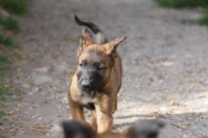 Belgian-Malinois-Puppies-BTWW-H-Litter-180319-0032