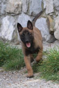 Belgian-Malinois-Puppies-BTWW-H-Litter-180319-0034