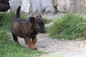 Belgian-Malinois-Puppies-BTWW-H-Litter-180319-0035