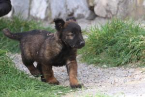 Belgian-Malinois-Puppies-BTWW-H-Litter-180319-0036