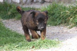 Belgian-Malinois-Puppies-BTWW-H-Litter-180319-0037