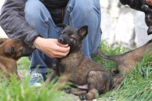 Belgian-Malinois-Puppies-BTWW-H-Litter-180319-0041