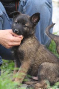 Belgian-Malinois-Puppies-BTWW-H-Litter-180319-0042