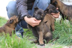 Belgian-Malinois-Puppies-BTWW-H-Litter-180319-0043