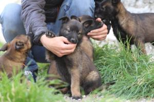 Belgian-Malinois-Puppies-BTWW-H-Litter-180319-0044